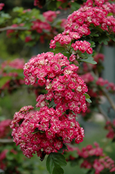 Toba Hawthorn (Crataegus x mordenensis 'Toba') at Eagle Lake Nurseries