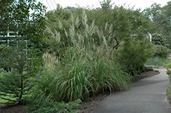 Ravenna Grass (Erianthus ravennae) at Eagle Lake Nurseries