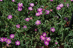 Hot Pink Ice Plant (Delosperma aberdeenense 'Hot Pink') at Eagle Lake Nurseries