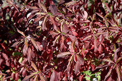 Red Gnome Dogwood (Cornus alba 'Regnzam') at Eagle Lake Nurseries