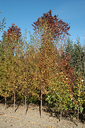 Ming Cherry (Prunus maackii 'Ming') at Eagle Lake Nurseries
