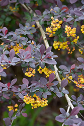 Royal Cloak Japanese Barberry (Berberis thunbergii 'Royal Cloak') at Eagle Lake Nurseries