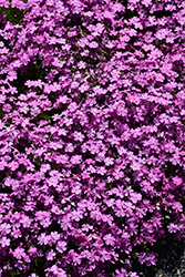Emerald Pink Moss Phlox (Phlox subulata 'Emerald Pink') at Eagle Lake Nurseries
