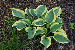 Liberty Hosta (Hosta 'Liberty') at Eagle Lake Nurseries