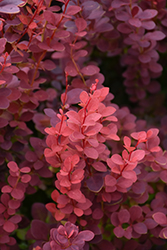 Ruby Carousel Japanese Barberry (Berberis thunbergii 'Bailone') at Eagle Lake Nurseries