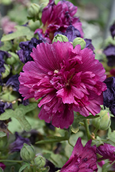Queeny Purple Hollyhock (Alcea rosea 'Queeny Purple') at Eagle Lake Nurseries