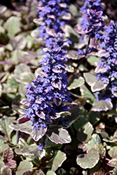 Burgundy Glow Bugleweed (Ajuga reptans 'Burgundy Glow') at Eagle Lake Nurseries