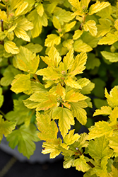 Tiny Wine® Gold Ninebark (Physocarpus opulifolius 'SMNPOTWG') at Eagle Lake Nurseries