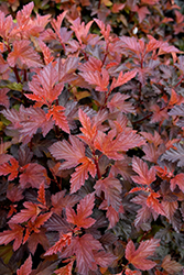 Coppertina Ninebark (Physocarpus opulifolius 'Mindia') at Eagle Lake Nurseries
