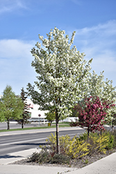 Rosthern Siberian Crab Apple (Malus baccata 'Rosthern') at Eagle Lake Nurseries
