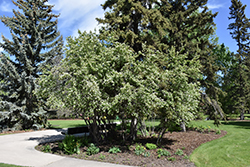 Thiessen Saskatoon (Amelanchier alnifolia 'Thiessen') at Eagle Lake Nurseries