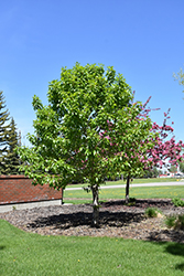 Paskapoo Balsam Poplar (Populus balsamifera 'Paskapoo') at Eagle Lake Nurseries