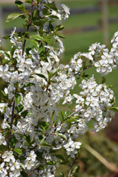 Juliet Cherry (Prunus 'Juliet') at Eagle Lake Nurseries