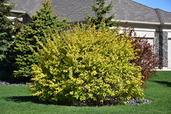 Dart's Gold Ninebark (Physocarpus opulifolius 'Dart's Gold') at Eagle Lake Nurseries