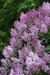 Donald Wyman  Preston Lilac (Syringa x prestoniae 'Donald Wyman') at Eagle Lake Nurseries