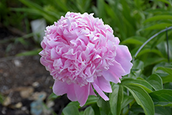 Sarah Bernhardt Peony (Paeonia 'Sarah Bernhardt') at Eagle Lake Nurseries