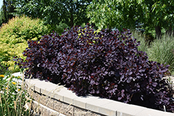 Royal Purple Smokebush (Cotinus coggygria 'Royal Purple') at Eagle Lake Nurseries