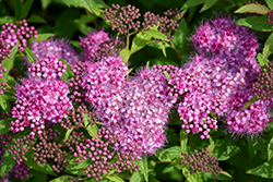 Anthony Waterer Spirea (Spiraea x bumalda 'Anthony Waterer') at Eagle Lake Nurseries