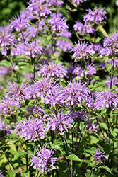 Blue Stocking Beebalm (Monarda didyma 'Blue Stocking') at Eagle Lake Nurseries