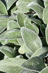 Lamb's Ears (Stachys byzantina) at Eagle Lake Nurseries