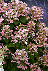 Quick Fire Hydrangea (Hydrangea paniculata 'Bulk') at Eagle Lake Nurseries