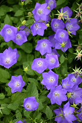 Blue Clips Bellflower (Campanula carpatica 'Blue Clips') at Eagle Lake Nurseries