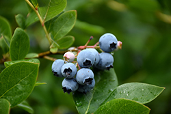 Northcountry Blueberry (Vaccinium 'Northcountry') at Eagle Lake Nurseries