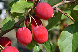 Dolgo Apple (Malus 'Dolgo') at Eagle Lake Nurseries