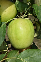 Norkent Apple (Malus 'Norkent') at Eagle Lake Nurseries