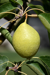 Early Gold Pear (Pyrus ussuriensis 'Early Gold') at Eagle Lake Nurseries