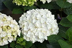 Blushing Bride Hydrangea (Hydrangea macrophylla 'Blushing Bride') at Eagle Lake Nurseries